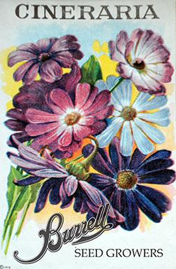 Heirloom African Daisy Seeds