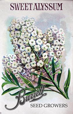 White Alyssum Seeds
