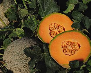 Athena Cantaloupe seeds