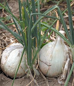 Blanco Duro Onion Seeds