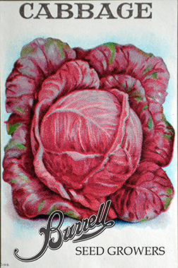 Heirloom Red Cabbage seeds
