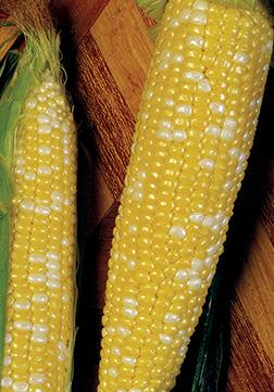 Cameo Sweet Corn Seeds