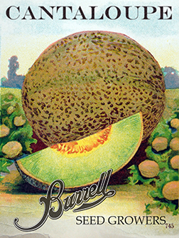 Cantaloupe Green Flesh