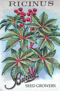 Heirloom Castor Bean Seeds