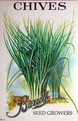 Heirloom Perennial Chive Seeds