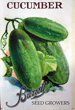 Cucumber Pickling 2