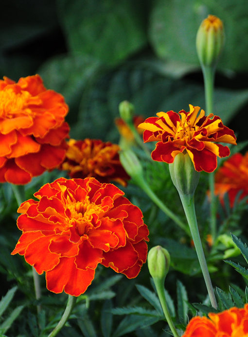 French Double Marigold