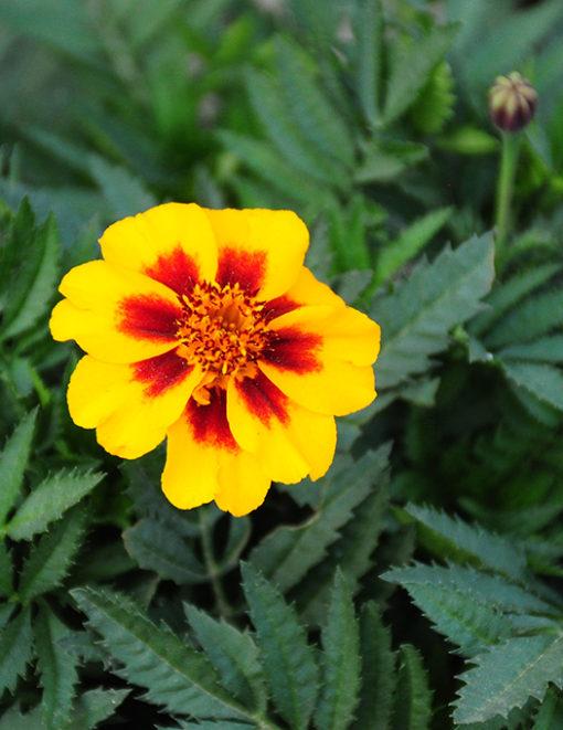 French Single Marigold seeds