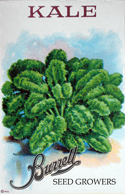 Heirloom Vates Blue Kale Seeds