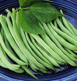 Kentucky Bush Beans