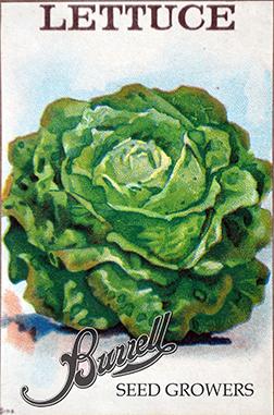 Lettuce Butterhead 2