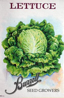 Lettuce Iceberg 2