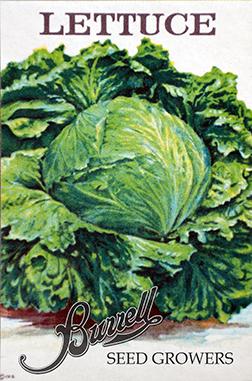 Lettuce Iceberg 3