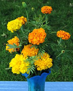 Heirloom Crackerjack Marigold Seeds