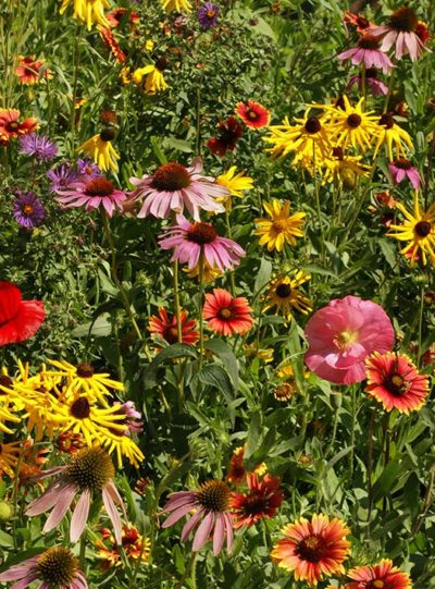 Midwest Wildflower Mix Seeds