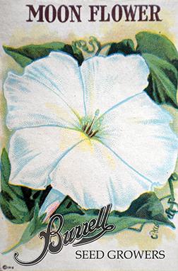 Heirloom Moon Flower Seeds