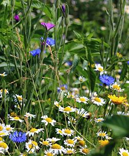 Mtn Wildflowers