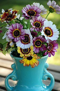 Painted Daisy Merry Mixture