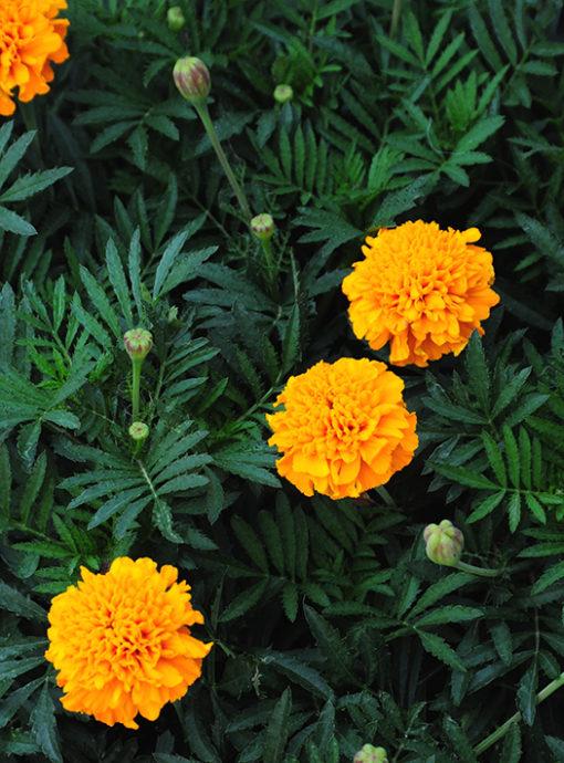 Petite Mix Marigold seeds