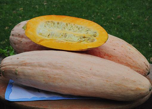 Pink Banana Squash Seeds