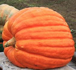 Pumpkin Atlantic sml