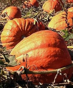 Pumpkins big max