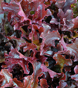 Salad Bowl Red