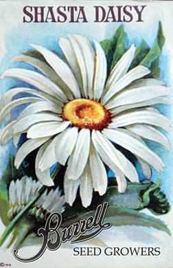Heirloom Shasta Daisy Seeds