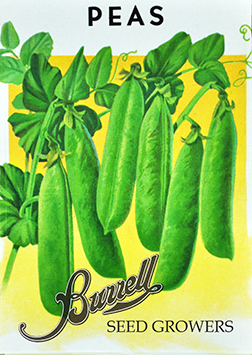 Heirloom Sugar Snap pea seeds