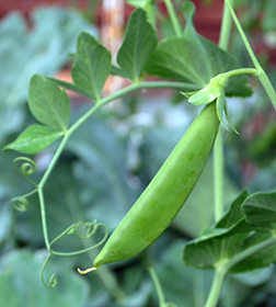Heirloom Pea Seeds