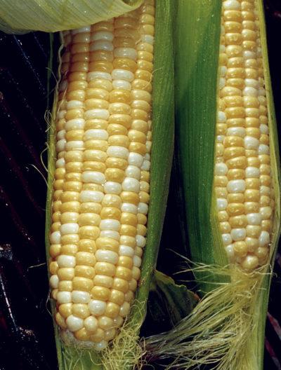 Trinity Sweet Corn Seeds