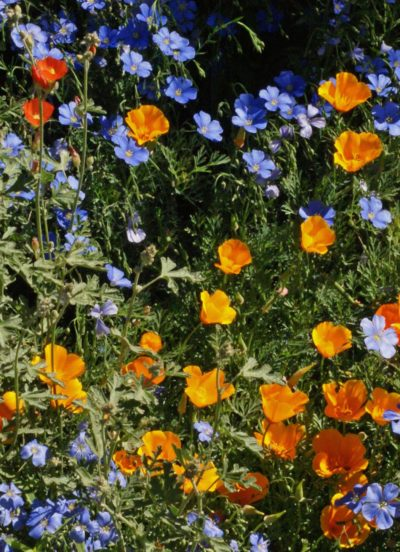 Western Xeriscape Mix Seeds