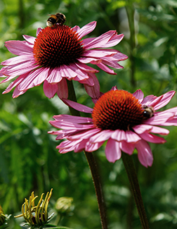 Heirloom and Perennial Echinacea Seeds