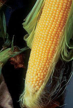 Incredible Sweet Corn Seeds