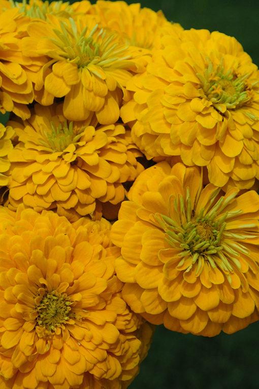 Daffodil California Giant Zinnia Seeds