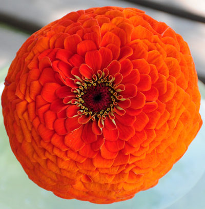 California Giant Orange King Zinnia Seeds