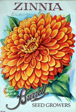 Zinnia Orange 2