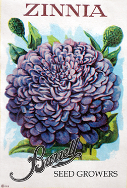 Zinnia Purple 3