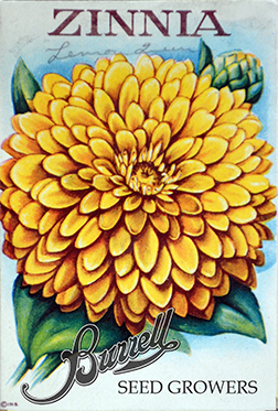 Zinnia Yellow 2