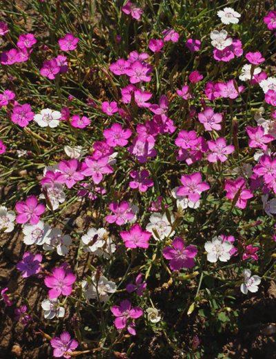 Dianthus Maiden Pink Seeds